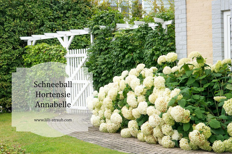 Hortensie Annabell hortensie annabelle lilli straub den traumgarten planen