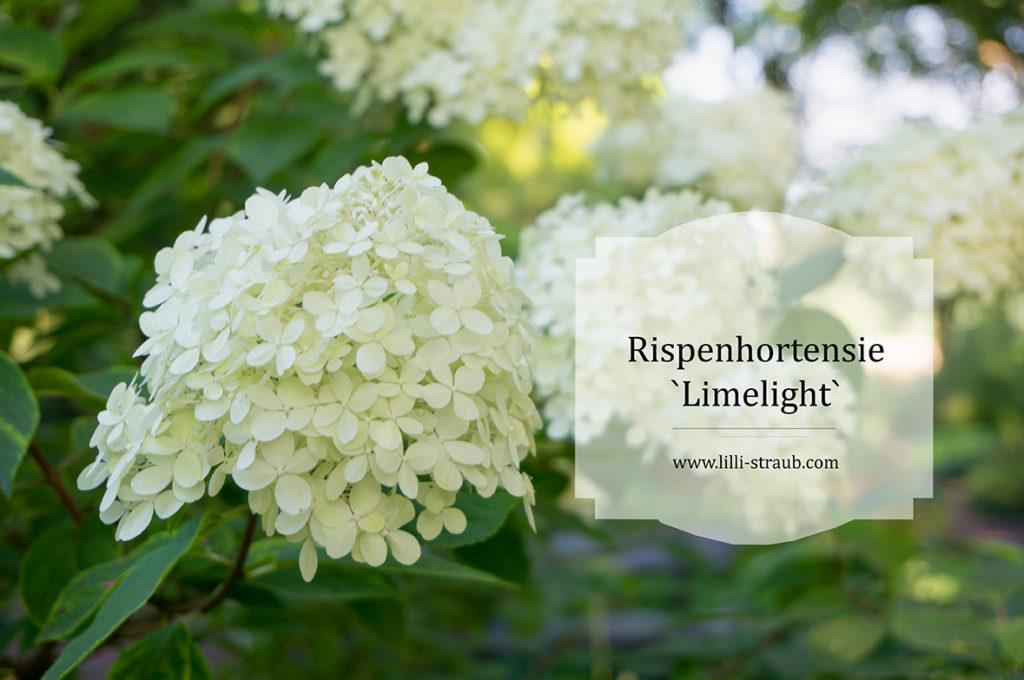 Hortensie limelight