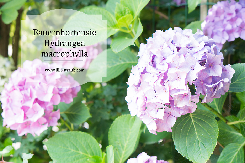 So Finden Sie Die Hortensie Die Zu Ihnen Passt Lilli Straub Den