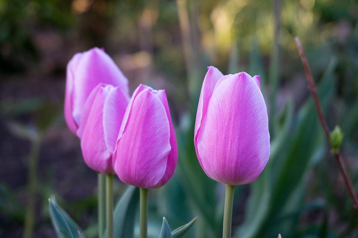 Lila oder purpurfarbene Tulpen bilden einen tollen Kontrast zu weißen und grünen Blüten und Blättern